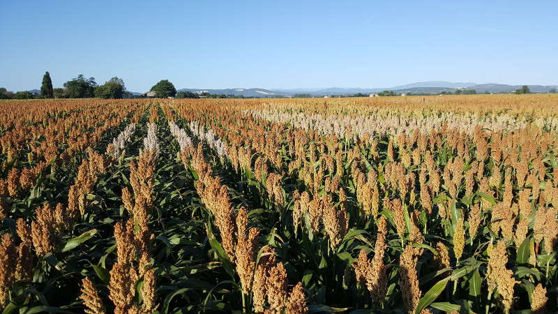 Unveiling the Secrets of Sorghum