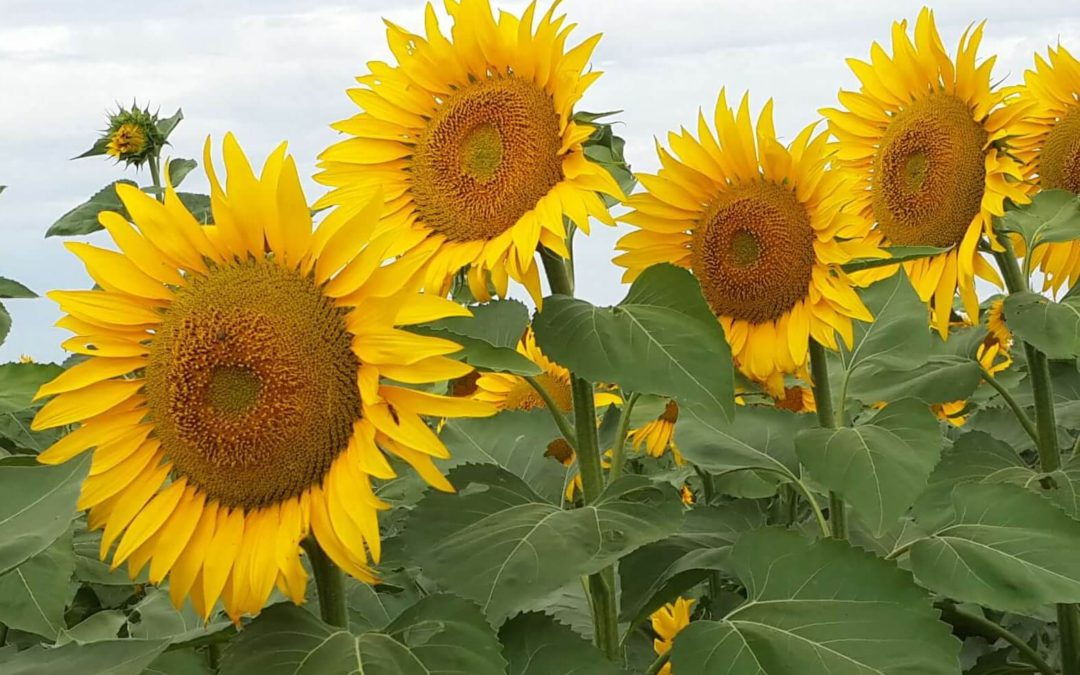 Sunflower – Clearfield® Plus