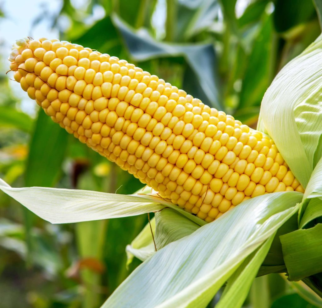Yellow and White Maize Hybrids - Agricol