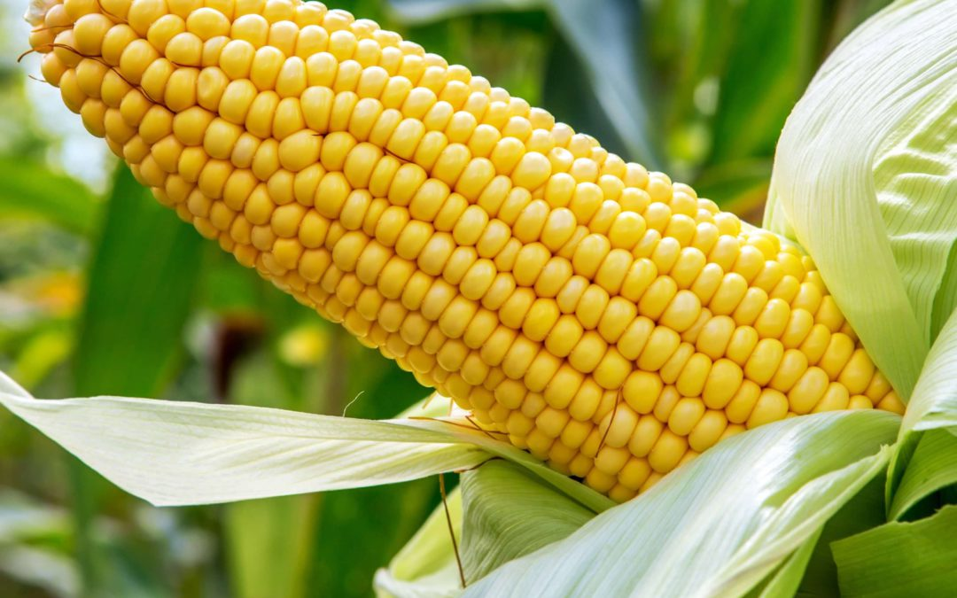 Yellow and White Maize Hybrids