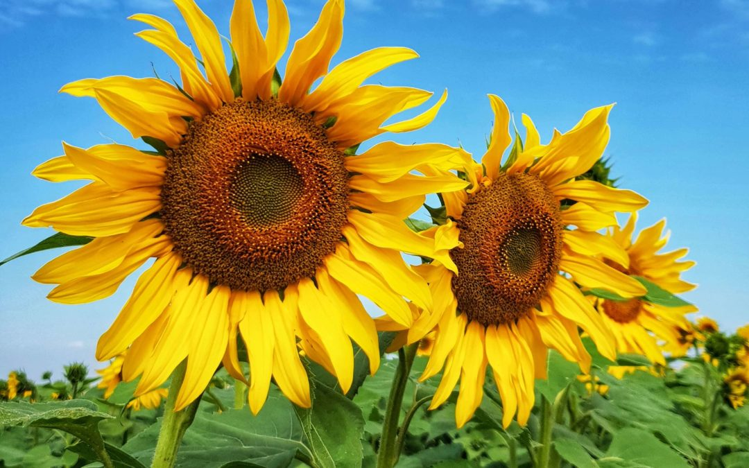 Sunflower – Conventional
