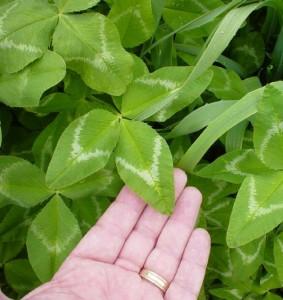 Arrowleaf clover
