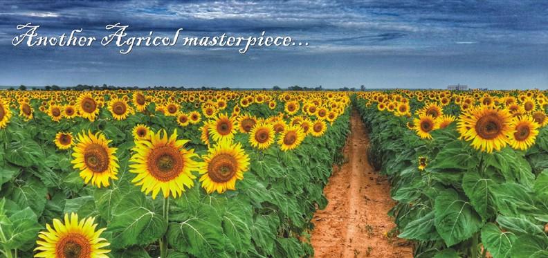 Image Of Sunflowers Impremedia Net