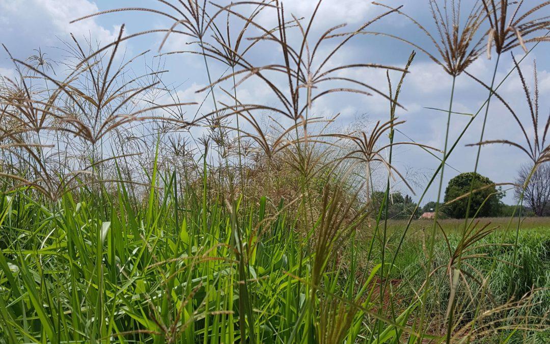 Rhodesgrass