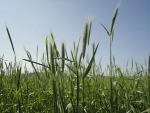 Rye(spring)