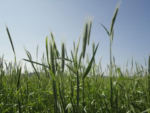 Rye (Spring)
