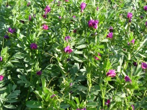 Sweet_vetch