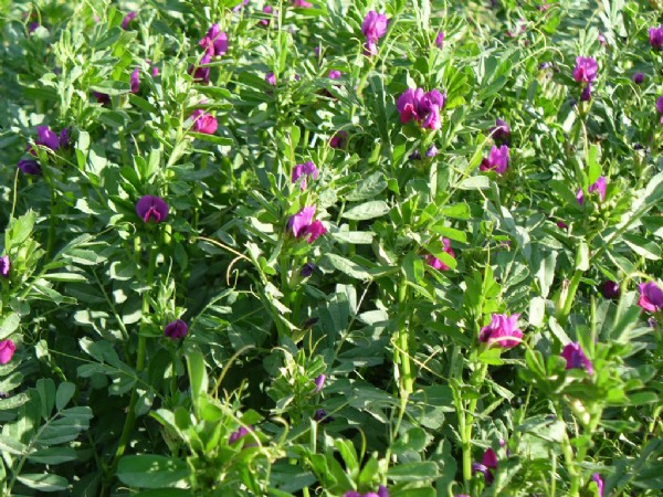 Sweet Vetch