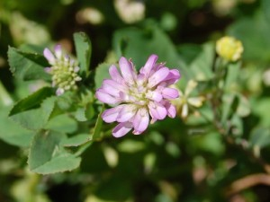 persian clover flower